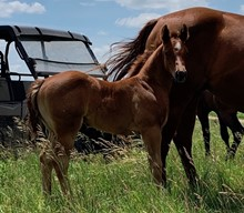 RED ROAN FILLY
