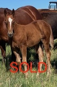 SHINING TRAVALENA FILLY SORREL